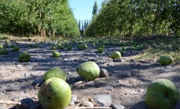 Para no perder plata, podrían no cosechar peras y manzanas