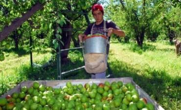 Se perderán en Mendoza más de 40 millones de kilos de pera