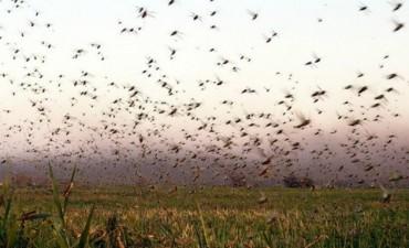 Impacta la manga de langostas de 5 kilómetros en Salta
