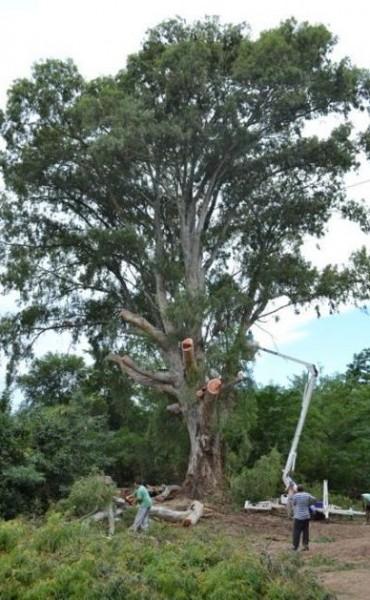 Se debió podar una especie centenaria de eucaliptus en la zona que le dió nombre  a uno de los barrios históricos de la ciudad
