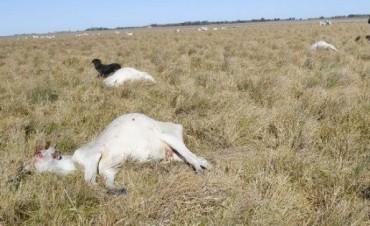 Monte Maíz, Córdoba: Por ola de calor mueren más de 100 vacas de tambo