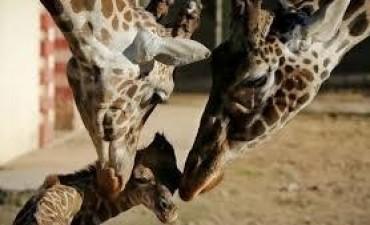 Presentan a jirafa