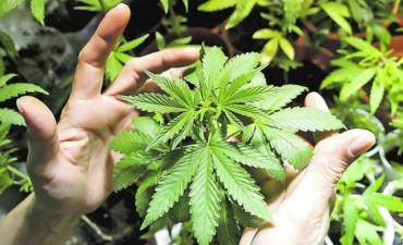 Hallan plantacion de marihuana en pleno centro de nuestro medio