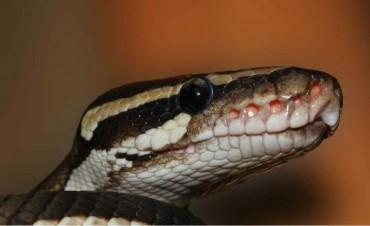 Desconcierta una serpiente que se come a sí misma