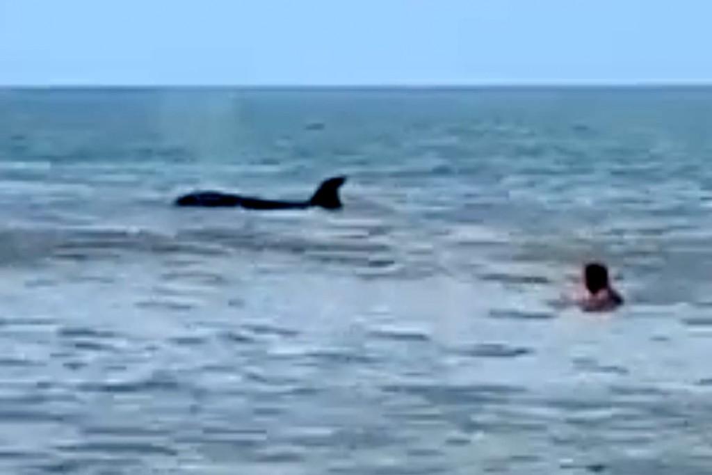Luego del tiburón, ahora apareció una orca en la costa de Monte Hermoso