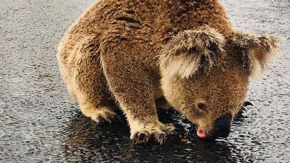 Australia: la historia detrás del koala sediento que tomaba agua del asfalto tras la lluvia