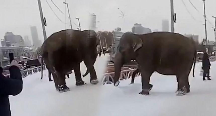 Elefantes sorprendieron en la nieve en plena ciudad rusa