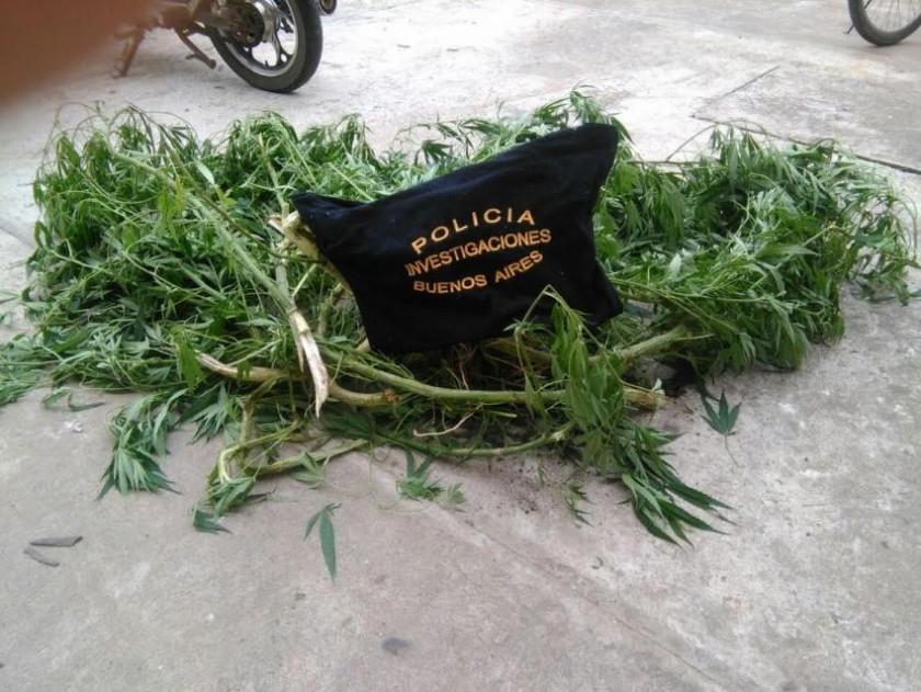 Secuestran planta de marihuana en nuestra ciudad