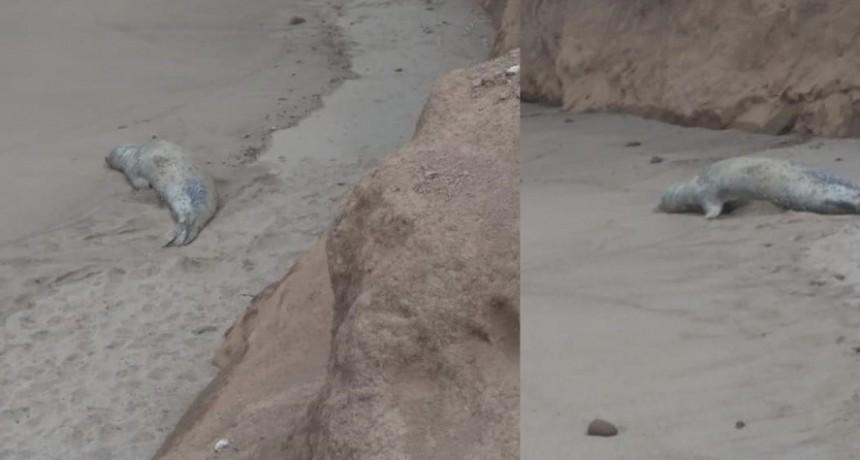 Visita inesperada: un elefante marino sorprendió a los turistas de una playa marplatense