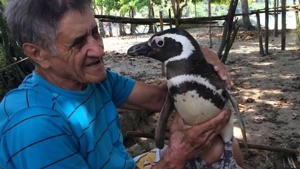 El pingüino que nada 8000 km todos los años para reencontrarse con el hombre que le salvó la vida