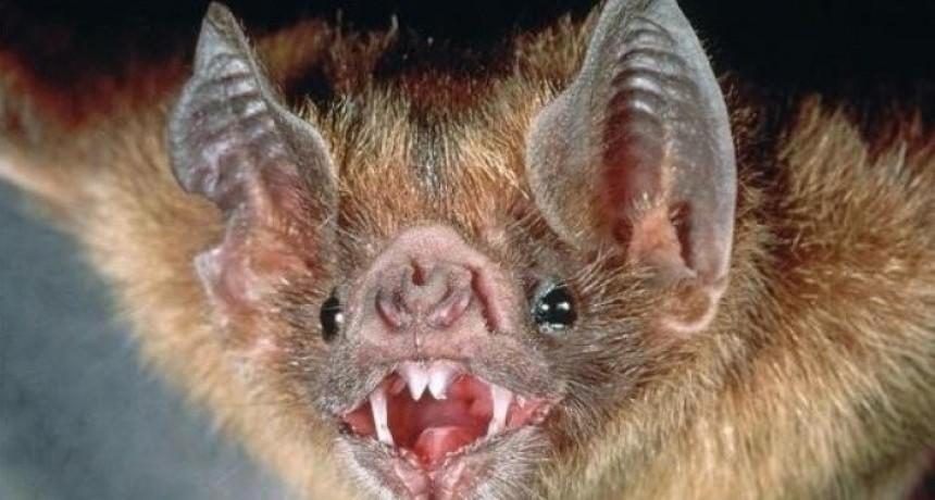 Aparecieron 14 murciélagos con rabia en la provincia de Buenos Aires