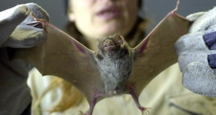 Coronavirus: afirman que en China volvió la venta de carne de murciélagos