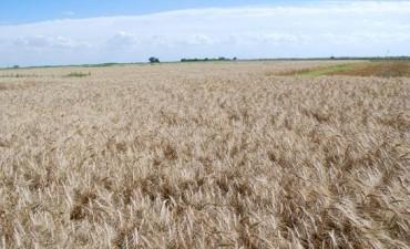 INTA SAN ANTONIO DE ARECO: Así se comportó el trigo