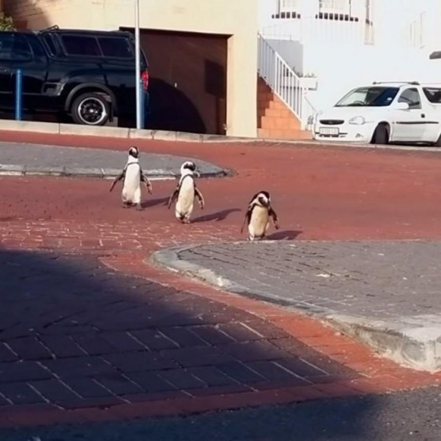 Increíble video: un grupo de pingüinos se adueñó de las calles de Sudáfrica en plena cuarentena