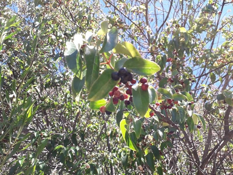 Maqui: el súper berry que el INTA busca cultivar
