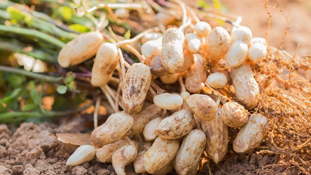 ECONOMÍAS REGIONALES  | Crece el cultivo de maní y especialistas plantean la necesidad del cuidado del suelo