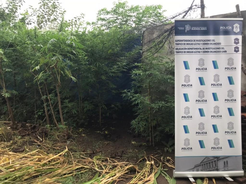 Viveros caseros de plantas de marihuana ubicados en  patios  de Lincoln, Alem y Los Toldos