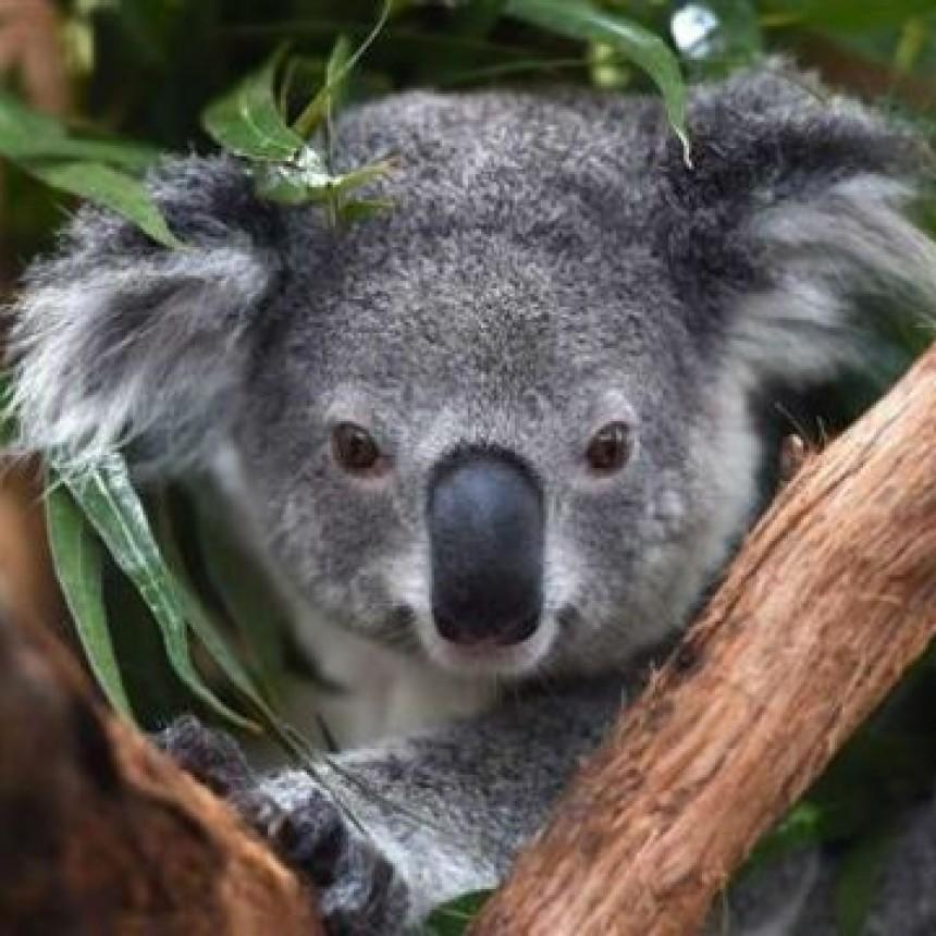 ¿Cómo beben agua los koalas?