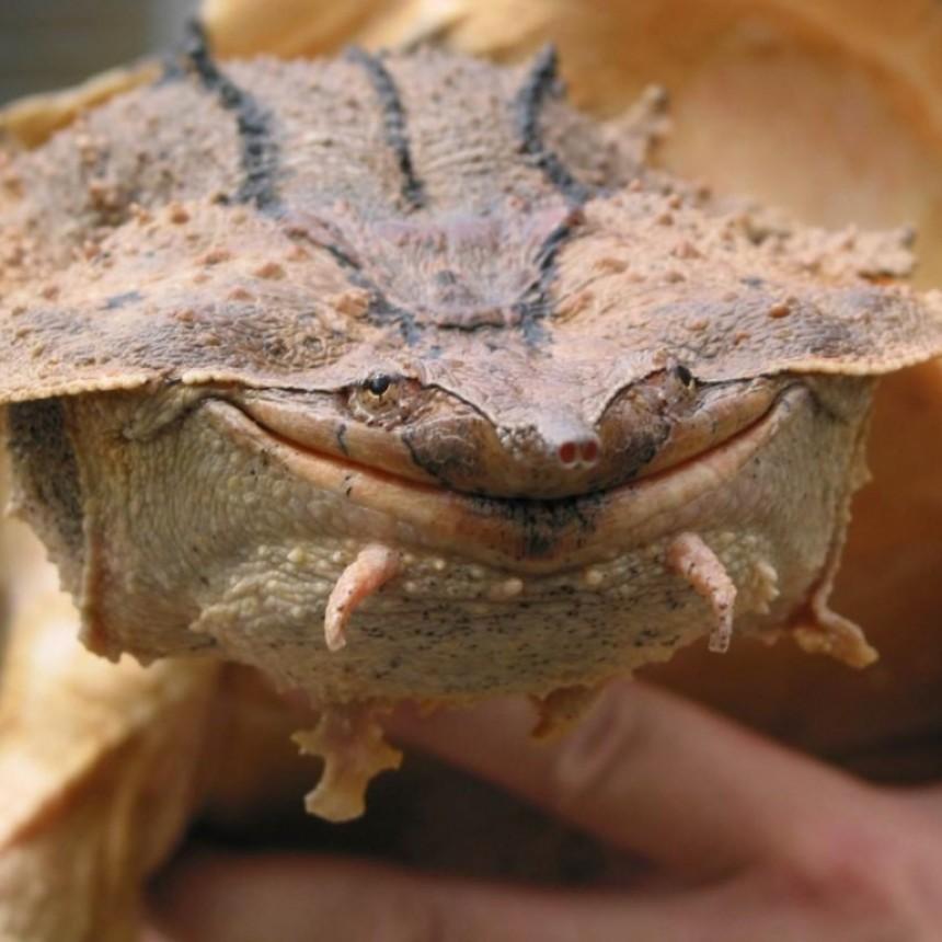 Hallan una nueva especie de tortuga de medio metro de longitud