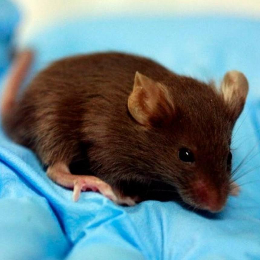 Descubren una rara hepatitis que se transmite de ratones a humanos