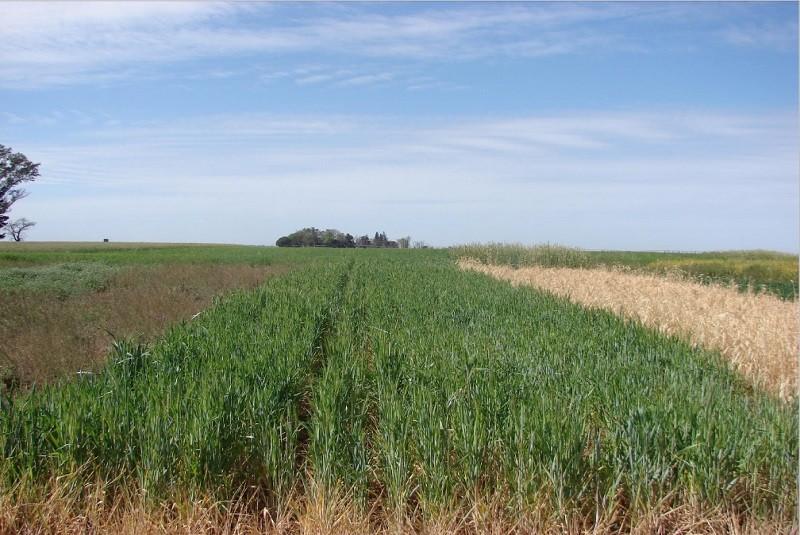Con cultivos de cobertura controlan el avance de malezas resistentes