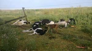 Un rayo mató una decena de vaquillonas en un campo de Warnes