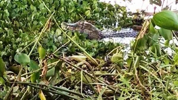 Un enorme yacaré negro llegó a Posadas con la crecida de los ríos