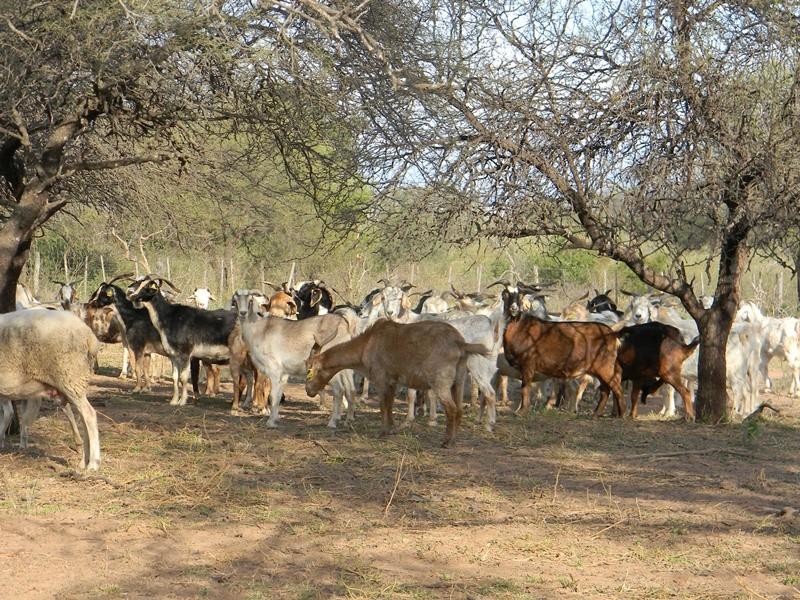 Evalúan estrategias de pastoreo con cabras y ovejas