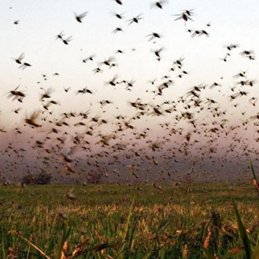 Habrían entrado  desde Paraguay    Impresionante manga de langostas que amenaza el norte de Santa Fe