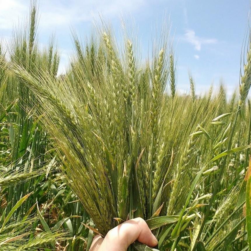 Confirman que el trigo es rentable en el modelo agroecológico
