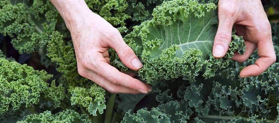 SILVIO LOPAPA | Hoy en nuestra huerta sembramos Kale