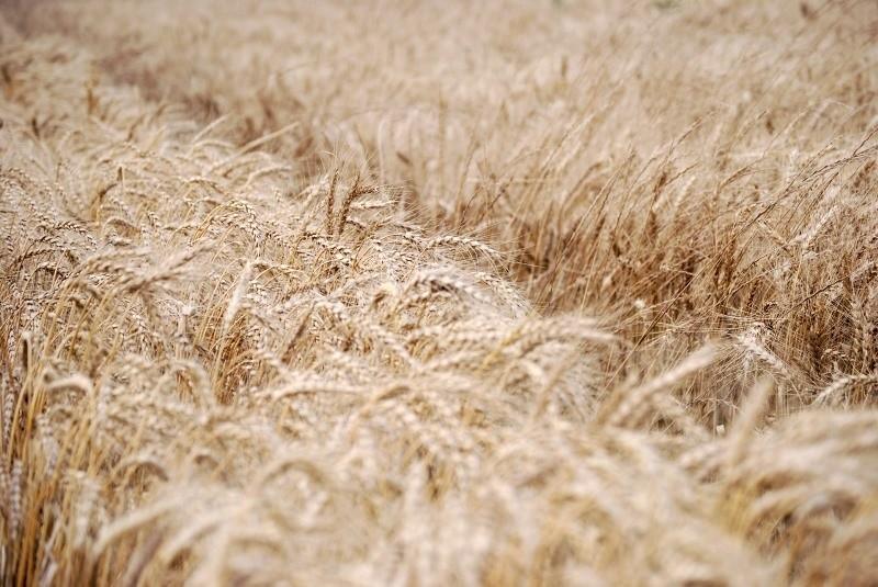 Trigo: cómo aumentar la productividad y la estabilidad del cultivo