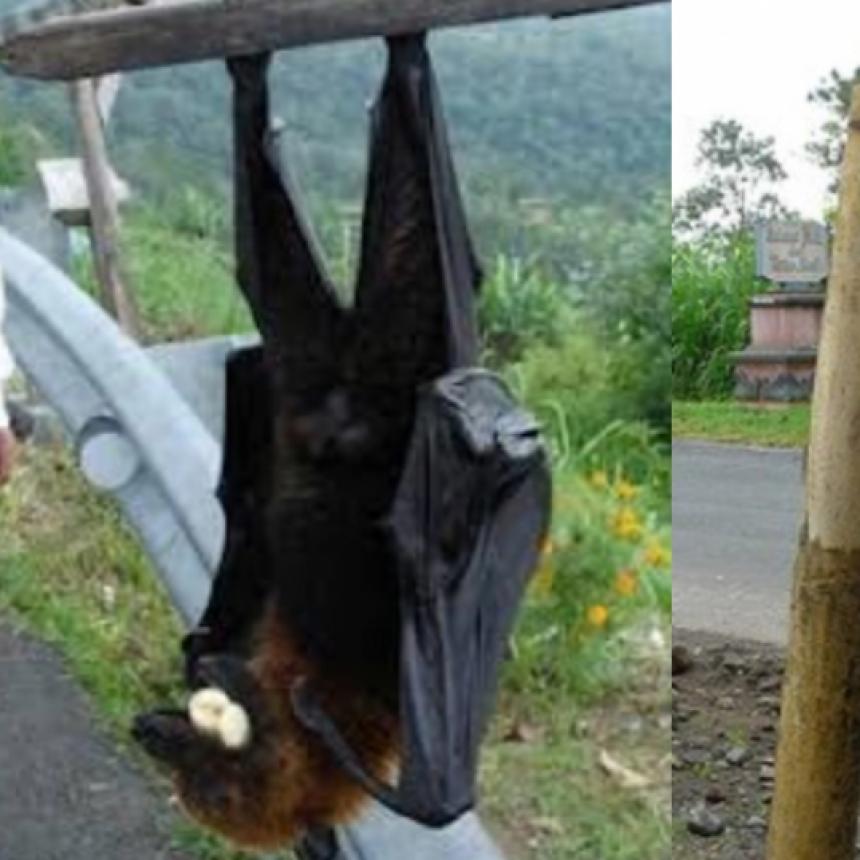 ¿El murciélago más grande del mundo? una foto viral increíble