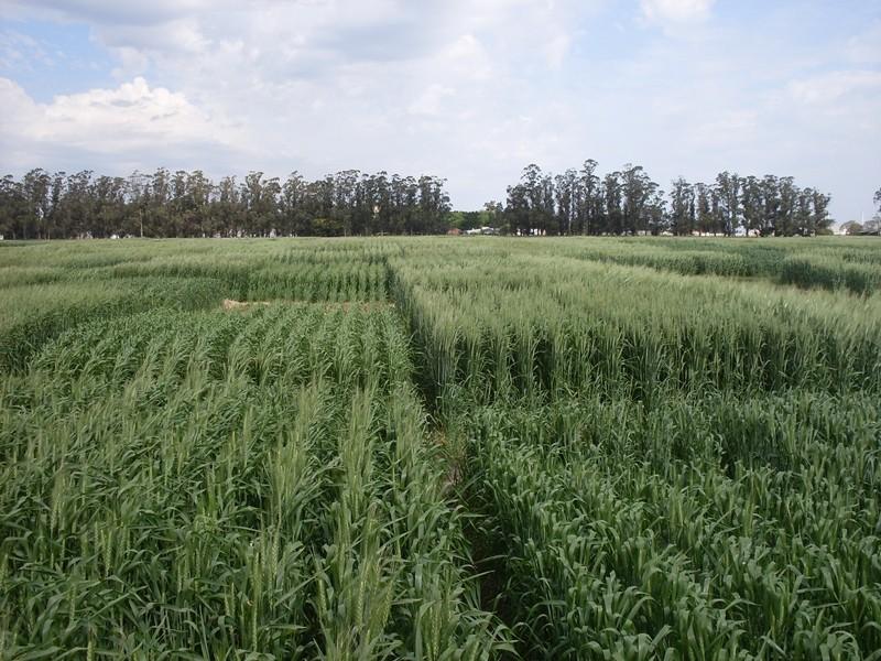 Trigo: evalúan la respuesta a fungicidas en diferentes variedades