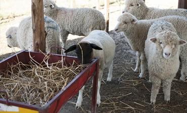 Carne ovina: crece su consumo en el NEA