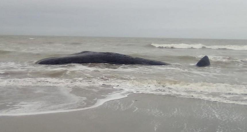 Apareció una ballena muerta a metros de la costa en Camet
