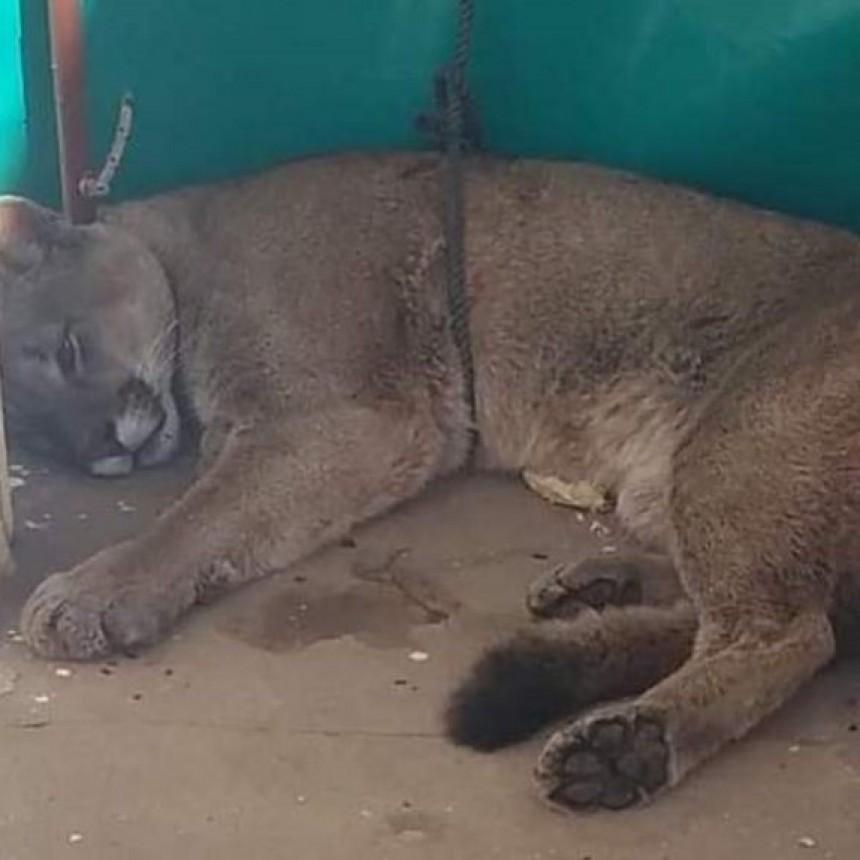 En Mones Cazón apareció un puma caminando por la localidad