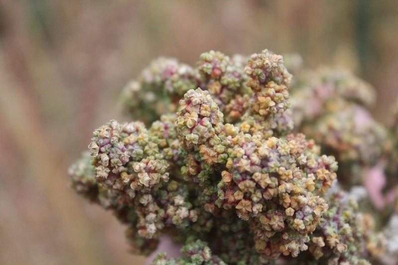 Varvarco: una comunidad neuquina guardiana de la quinoa