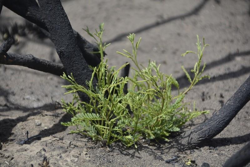 En un mapa, consolidan daños y riesgos de incendios con estrategias de regeneración