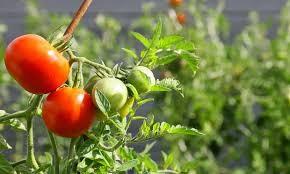 SILVIO LOPAPA | Hoy en nuestro espacio de huerta: Plantines de tomate