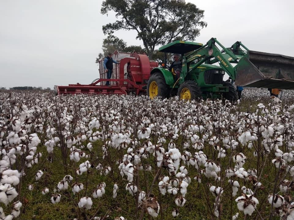 Se realizó la primera cosecha mecánica de algodón en Bragado