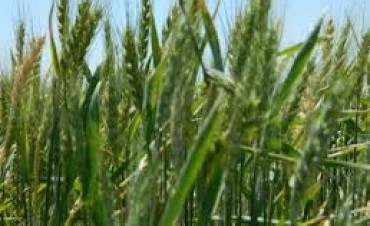 Enfermedades de trigo  y cebada