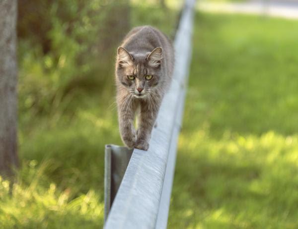 ¿Por qué los gatos tienen tanto equilibrio?