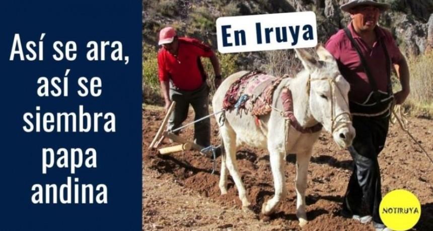 Así se ara y se siembra papa andina en Iruya Salta
