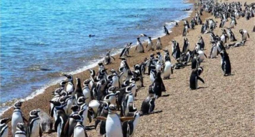 """Los primeros pingüinos de Magallanes comenzaron a llegar """"sanos y fuertes"""" a las reservas de Punta Tombo, Cabo dos bahías y Península Valdés"""
