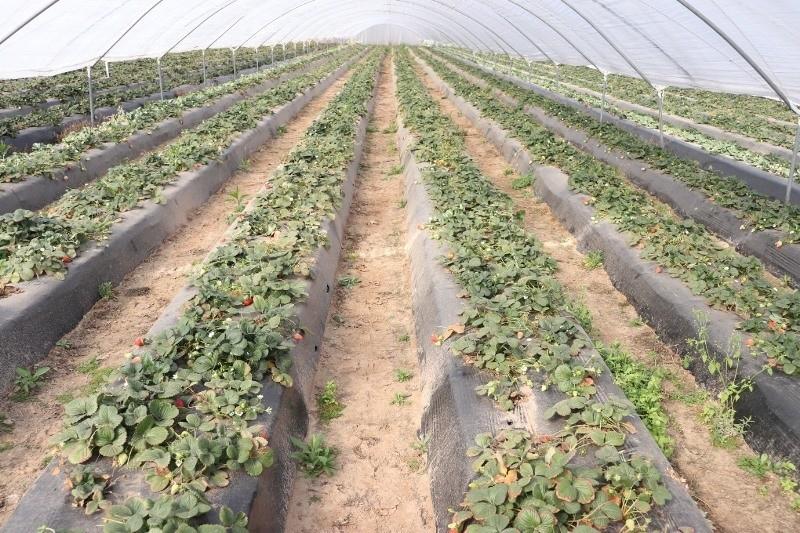 Advierten que podría disminuir la producción de frutillas en Santa Fe