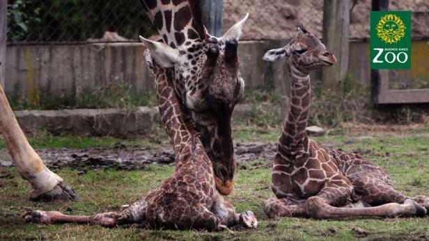 Nacieron jirafas mellizas en el Zoo porteño