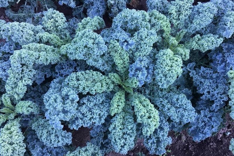 Kale: un súper alimento que gana terreno entre los consumidores