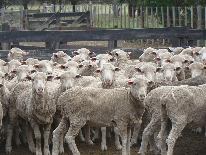 Productores de Patagones se preparan para la zafra lanera