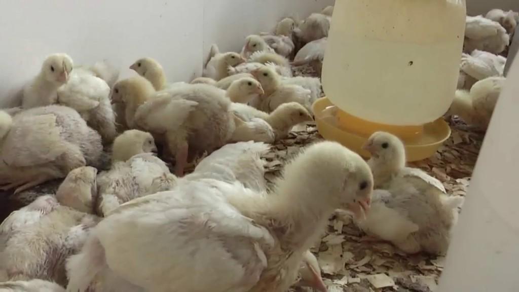 Ing Agron CECILIA SARCO | Hoy seguiremos hablando de Pollos parrilleros. Ultima parte